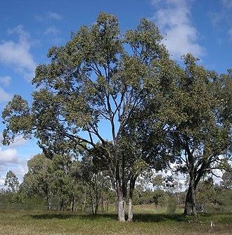 Taunton National Park - Poplar Box - Eucalyptus populnea