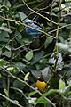 Eufonia Garganta Amarilla, Yellow Throated Euphonia, Euphonia hirundinacea (11914773925).jpg