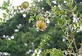 Eugenia woodburyana flower and fruit June13 2008.jpg