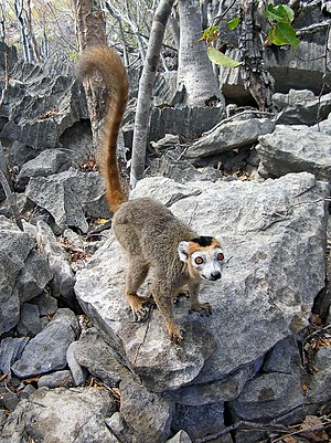 Ankarana Reserve - A male Crowned lemur photographed at the Ankarana Special Reserve