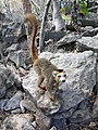 Eulemur coronatus Madagascar 16-07-2004.JPG