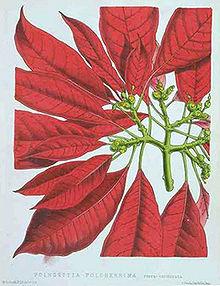 Alla Ricerca Della Stella Di Natale Wiki.Euphorbia Pulcherrima Wikipedia