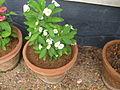 Euphorbia milii - യൂഫോർബിയ 03.JPG