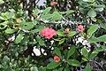 Euphorbia milii var. splendens Isopiikkikruunu IM5658 C.JPG
