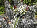 Euphorbiabaio.JPG
