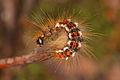 Euproctis chrysorrhoea - Burgenland.jpg