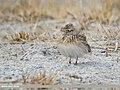 Eurasian Skylark (Alauda arvensis) (33172445808).jpg