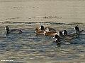 Eurasian Wigeon (Anas penelope), Gadwall (Anas strepera) & Eurasian Coot (Fulica atra) (31857771443).jpg