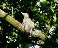 European Green Woodpecker sunbathing. Picus viridis (1) - Flickr - gailhampshire.jpg