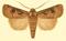 Euxoa corticea f.png
