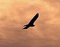 Evening Hawk (8037145293).jpg