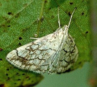 Evergestinae Subfamily of moths