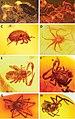 Examples of arachnids (10.3897-evolsyst.2.22581) Figure 2.jpg