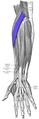 Extensor carpi radialis longus.png