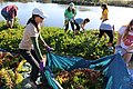 FWS biologist Lena Chang helps student from Ventura High School carry the pulled iceplant. (25362654534).jpg
