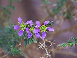 Fagonia Arabica