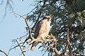 Falco biarmicus (32104067118).jpg