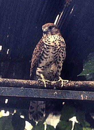 Mauritius kestrel - Image: Falco punctatus