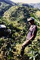 Farmer assessing his blue mountain coffee plants - panoramio.jpg