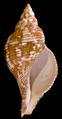 Fasciolaria tulipa.png