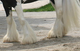 Gypsy horse - Feather on the lower legs