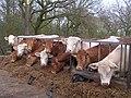 Feeding Time at Allanfauld Farm - geograph.org.uk - 162136.jpg