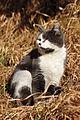 Felis silvestris catus - Bubikon 2011-02-04 15-39-14.JPG