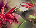 Female Ruby-Throated Hummingbird Drinking.jpg