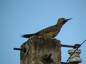 Description de l'image Fernandinas Flicker (Colaptes fernandinae).jpg.