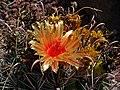Ferocactus gracilis ssp. coloratus 01.JPG