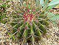 Ferocactus pilosus 1.jpg