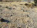 Ferocactus recurvus (5740391624).jpg