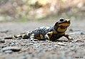 Feuersalamander Salamandra salamandra.jpg