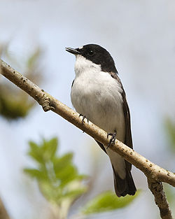 Ficedula hypoleuca -Wood of Cree Nature Reserve, Scotland -male-8a.jpg