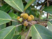 Ficus4.jpg