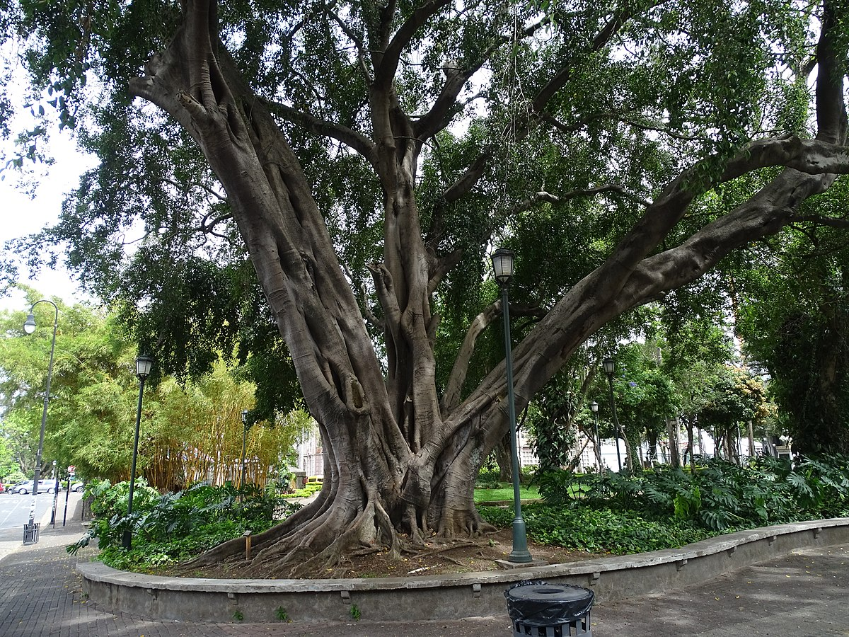 Cura Del Ficus Benjamin ficus benjamina - wikipedia