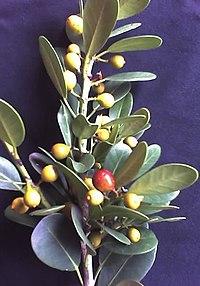 Ficus natalensis spec