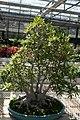 Ficus neriifolia 10zz.jpg