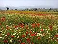 Field of poppies and crown daisies - ZakariaAzzaz (3).jpg