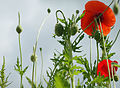 Field poppies and summer sky 2 (4749395937).jpg