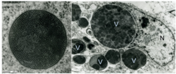 Figure 1 BFDV TEM image.png