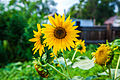 File-Sunflower at the street of Pavlodar, Kazakhstan.jpg