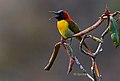 Fire Tailed Sunbird at Kanchenjungha.jpg