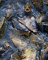 Fish fighting for bread thrown by Myrtle Beach tourists - panoramio.jpg