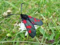 Five-spot Burnet - geograph.org.uk - 441797.jpg