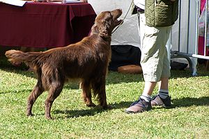 Flat-Coated Retriever - Black is the most common colour, but Flat-Coated Retrievers also occur in liver (dark brown) and yellow, although yellow is not allowed by the breed standard.