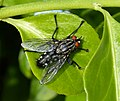 Flesh Fly. Sarcophaga sp. (33897341702).jpg