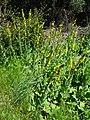 Fleurs des gorges de l'Ardèche 02.jpg