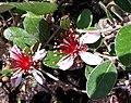 Fleurs feijoas 2.jpg