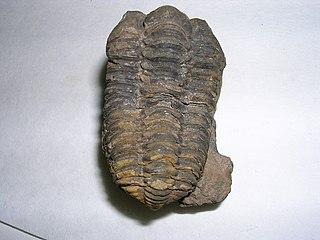 <i>Flexicalymene</i> genus of trilobites (fossil)